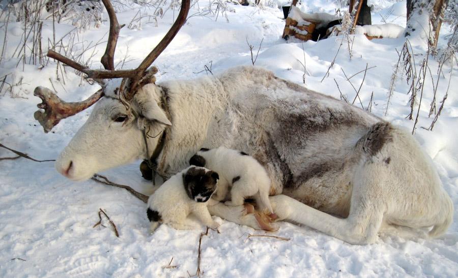 Картинки по запросу северный олень белый