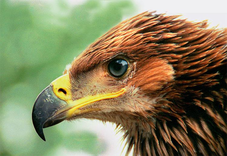 фото орёл могильник